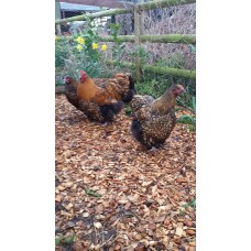 GOLD LACED ORPINGTONS LARGE FOWL