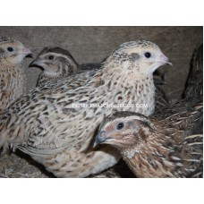 QUAIL JAPANESE & ITALIAN FERTILE EGGS