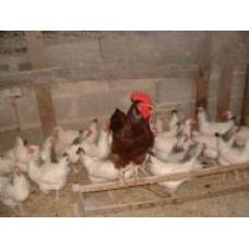 RHODE ISLAND RED X LIGHT SUSSEX HENS