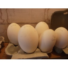 GOOSE EGGS NOW STOPPED LAYING UNTIL FEB. 2019