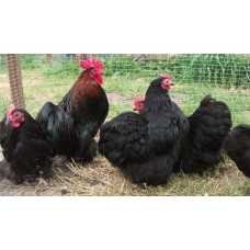 BLACK PEKIN BANTAMS