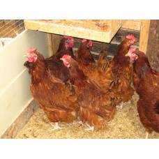 RHODE ISLAND RED PURE BREED