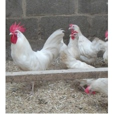 WHITE LEGHORN HYBRID HENS WITH PURE BRED WHITE LEGHORN COCKEREL.