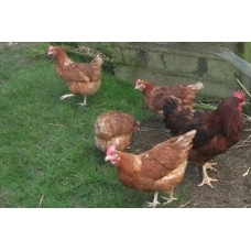 RHODE ISLAND RED X GOLDLINE LARGE FOWL
